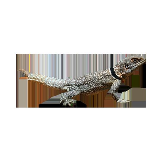 Iguana del Madagascar a coda spinosa