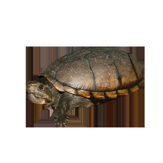 Tartaruga del fango