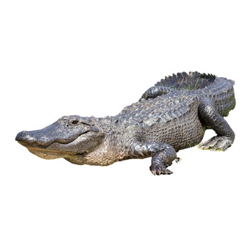 alligatore del mississipi