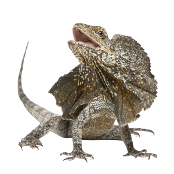 clamidosauro