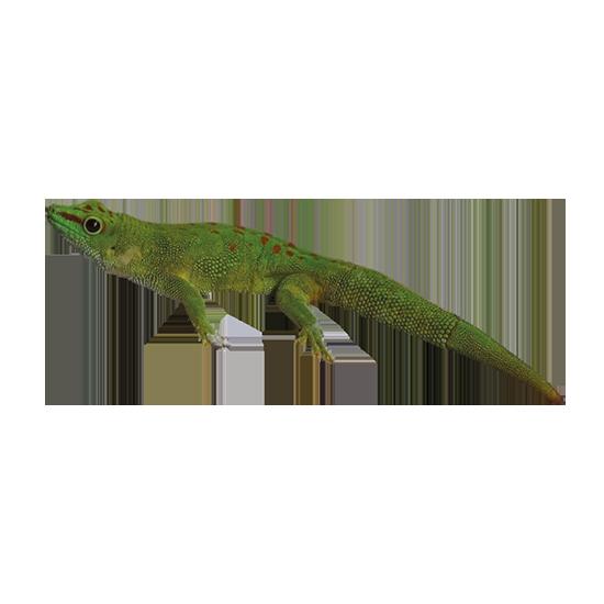 geco comune del Madagascar