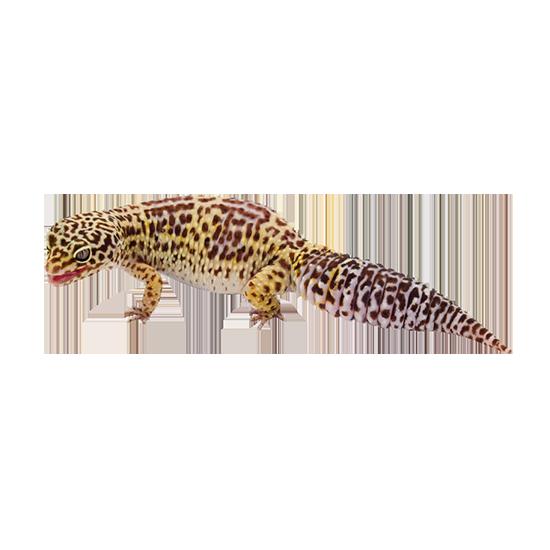 geco leopardino giallo carico