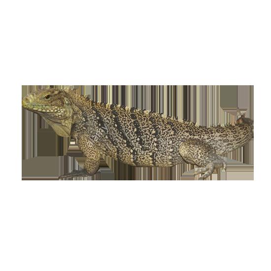 iguana di Cuba