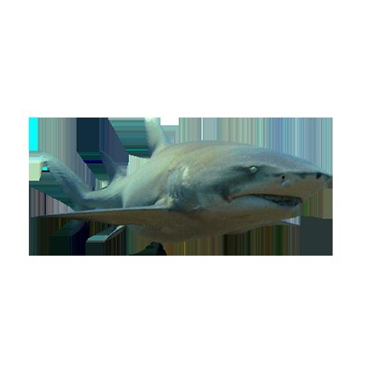 squalo limone