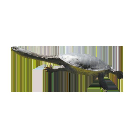 Tartaruga a collo di Serpente