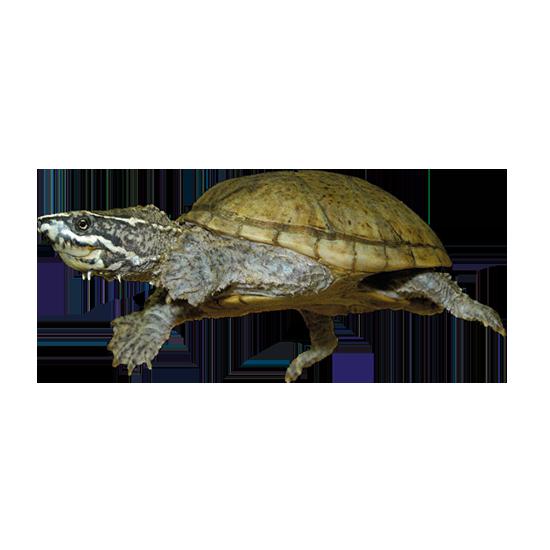 Tartaruga del muschio