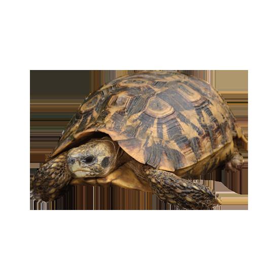 tartaruga della savana