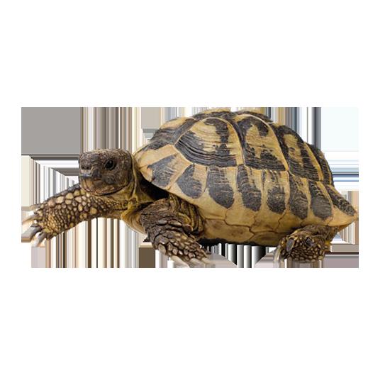 tartaruga di Horsfield