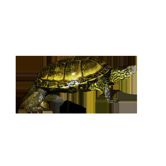 Tartaruga palustre europea