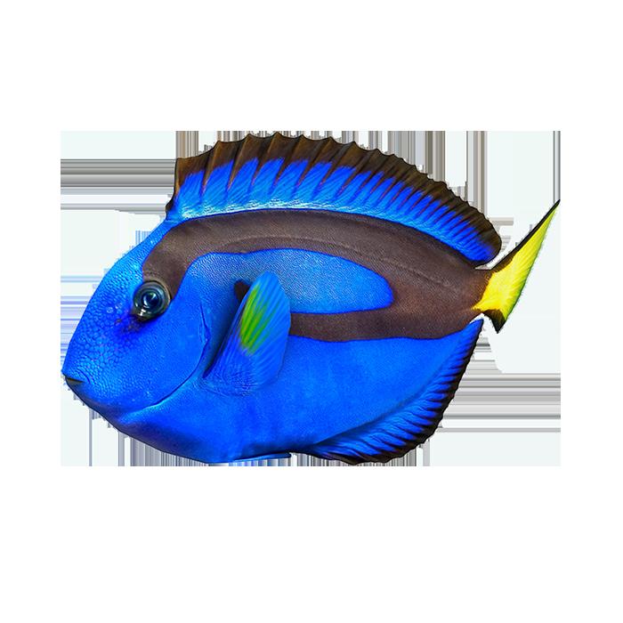 pesce chirurgo blu